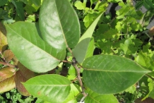 White-pear-leaves