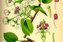 White-pear-plant-illustration