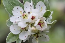 White-pear-flowers