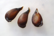White-pear-seeds