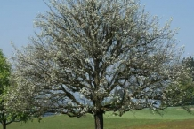 White-pear-tree
