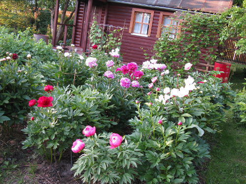 Different-varieties-of-White-peony