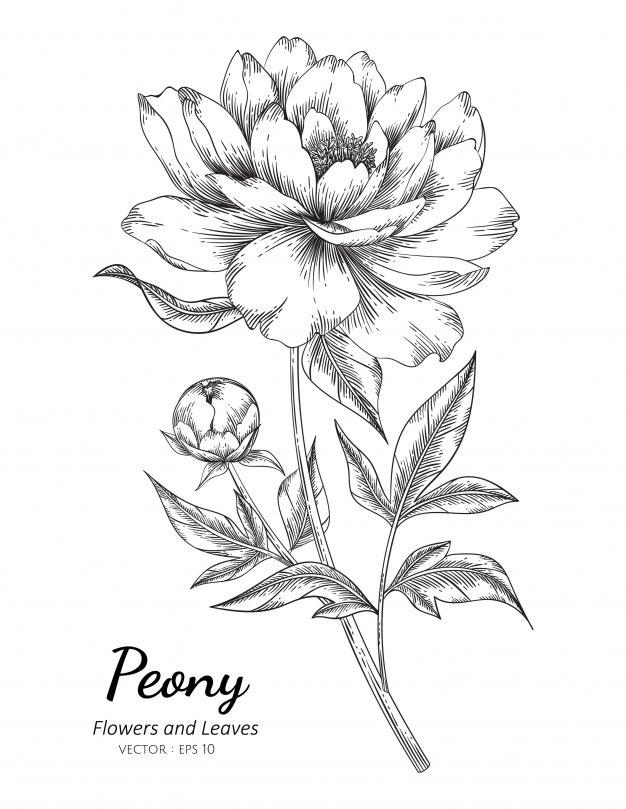 Sketch-of-White-Peony