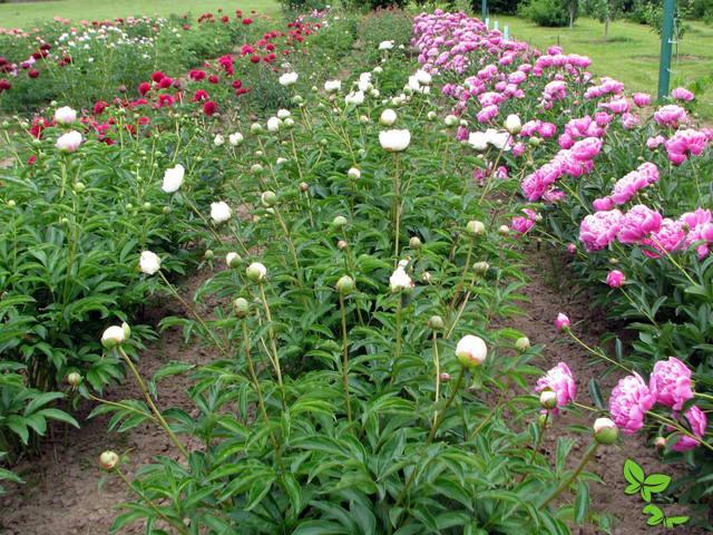 White-peony-garden
