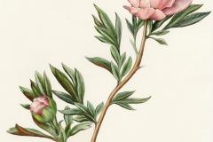 Plant-Illustration-of-White-Peony