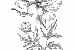 Sketch-of-White-Peony