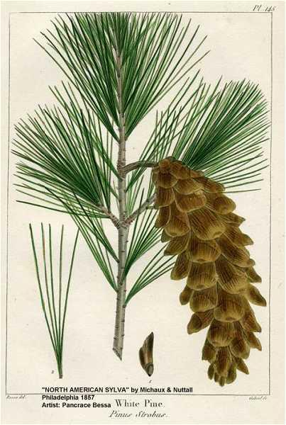 Plant-illustration-of-White-pine