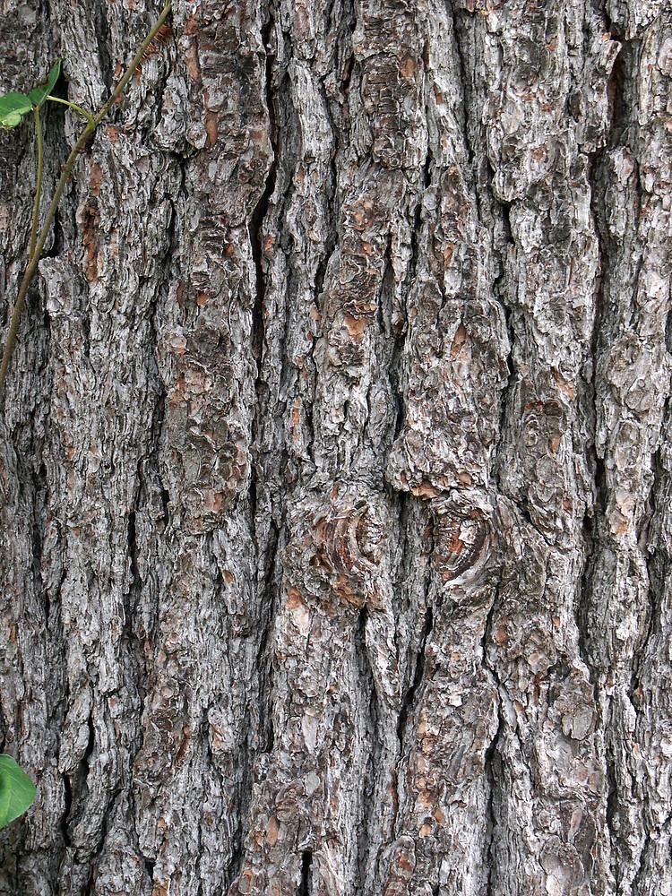 White-pine-bark