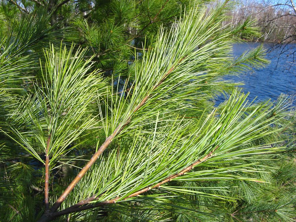 White-pine-leaves