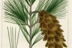 Plant-illustration-of-White-pine