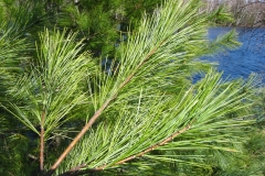 White-pine-leaves