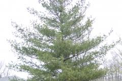 White-pine-tree