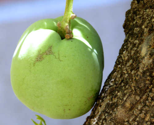 Closer-view-of-fruit-of-White-sapote