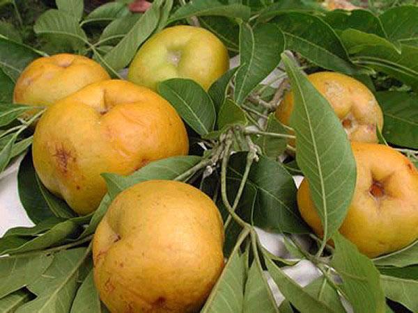 Mature-White-sapote-fruit