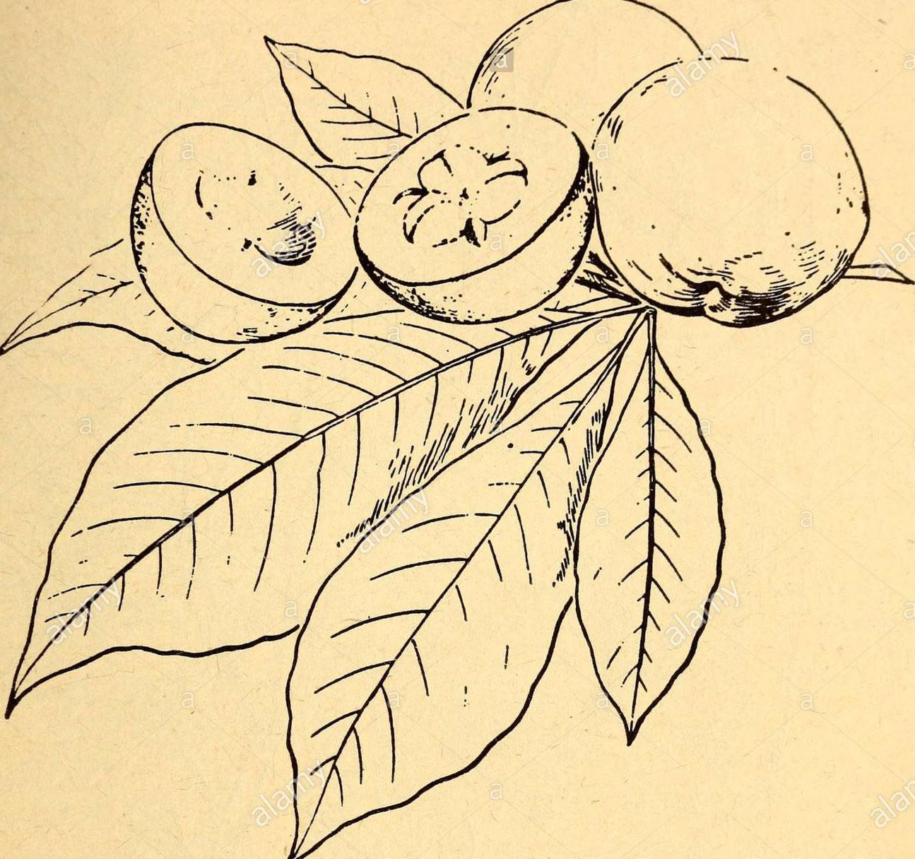 Sketch-of-White-sapote