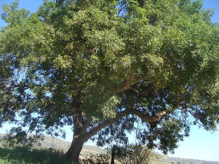 White-sapote-tree