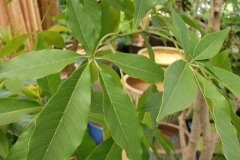 Leaves-of-White-sapote