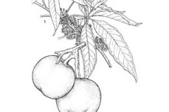 Plant-Illustration-of-White-sapote