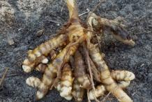 White-turmeric--Zedoarwortel