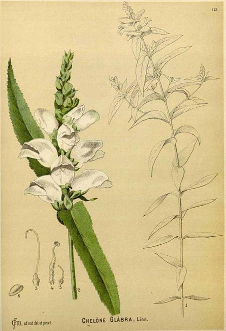 Plant-Illustration-of-White-Turtlehead-plant