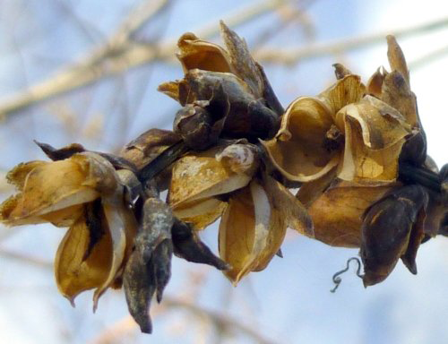 Seed-pods-of-White-Turtlehead-plant