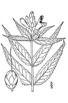 Sketch-of-White-Turtlehead-plant