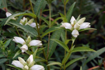 White-Turtlehead-Plant
