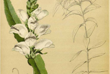 Plant-Illustration-of-White-Turtlehead-plant