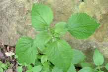 Leaves-of-Whiteweed