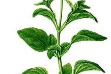 Plant-Illustration-of-Whiteweed