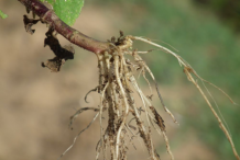 Roots-of-Whiteweed-plant