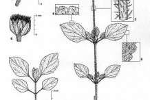 Sketch-of-Whiteweed-plant