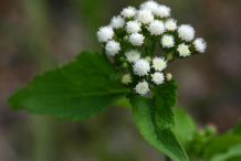 Flower-of-Whiteweed-plant