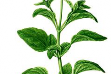 Plant-Illustration-of-Whiteweed