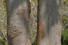 Bark-of-Wild-Almond