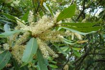 Flower-of-Wild-almond-plant