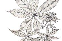 Sketch-of-Wild-Almond-plant