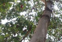 Trunk-of-Wild-Almond-plant