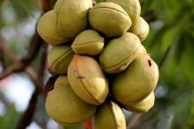 Unripe-Wild-Almond-fruit