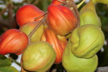 Wild-Almond-Fruits-on-the-tree