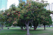 Wild-Almond-Tree