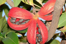 Wild-Almond-fruit