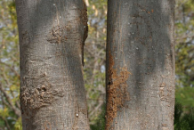 Bark-of-Wild-Almond