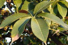 Leaves-of-Wild-Almond-plant