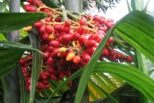 Wild-Areca-fruits