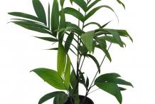 Wild-Areca-plant