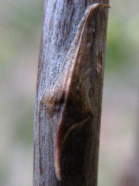 Mature-stem-of-Wild-asparagus