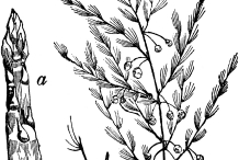 Sketch-of-wild-asparagus