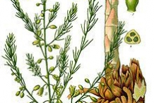 Plant-illustration-of-Wild-asparagus