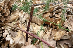 Wild-asparagus-growing-wild